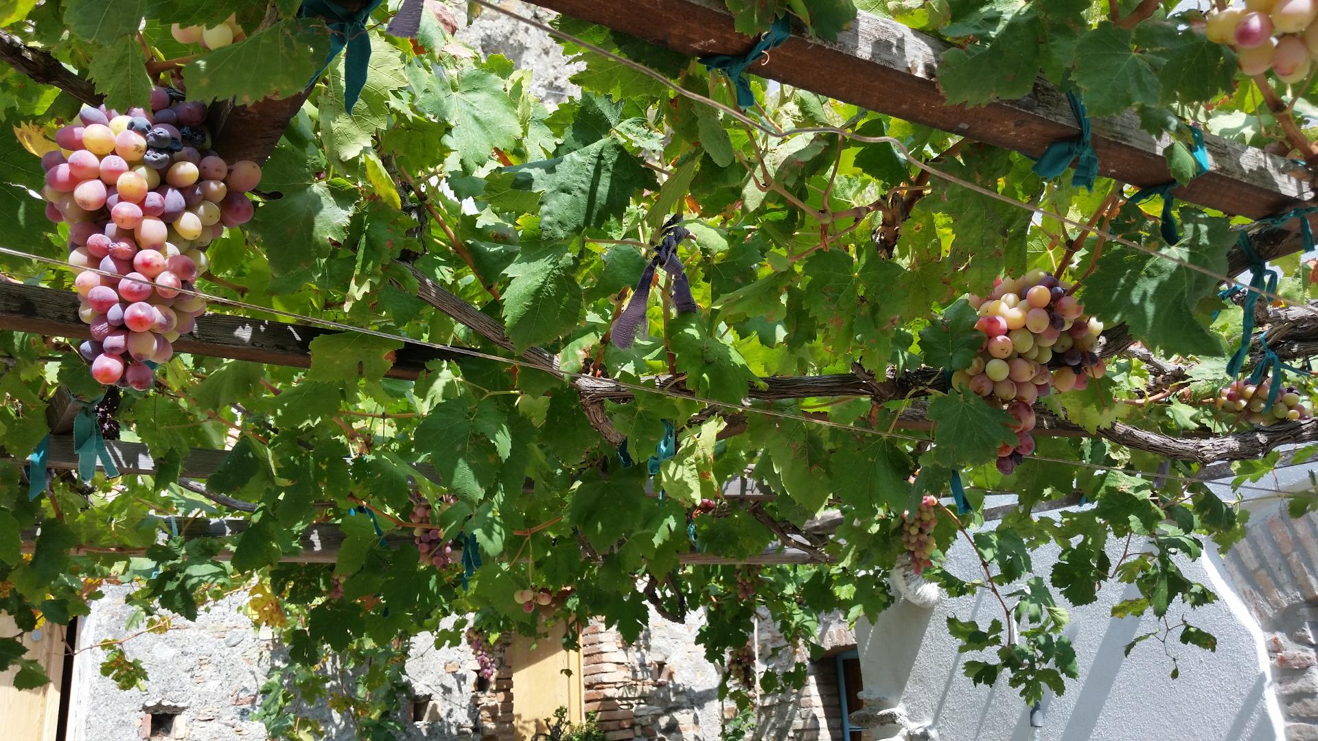 grape_galore